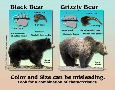 A graphic shows the difference between a black bear and a grizzly bear to help Idahoan residents know the signs.