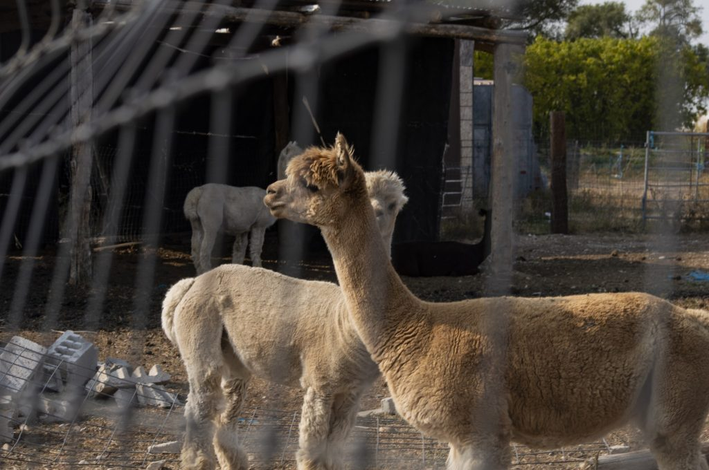 Freeman's property stretches acres beyond the alpaca's initial enclosure, giving them plenty of space to roam.