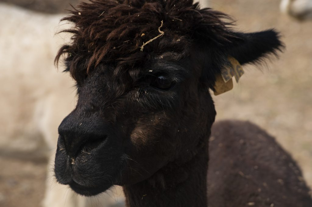 Some of the older alpacas on Freeman's property came with tags, so she left them on.