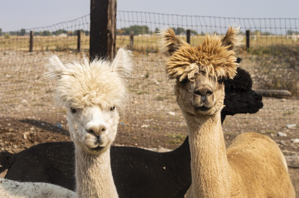 From at least five feet away, two alpacas with similar topknots look into the camera.