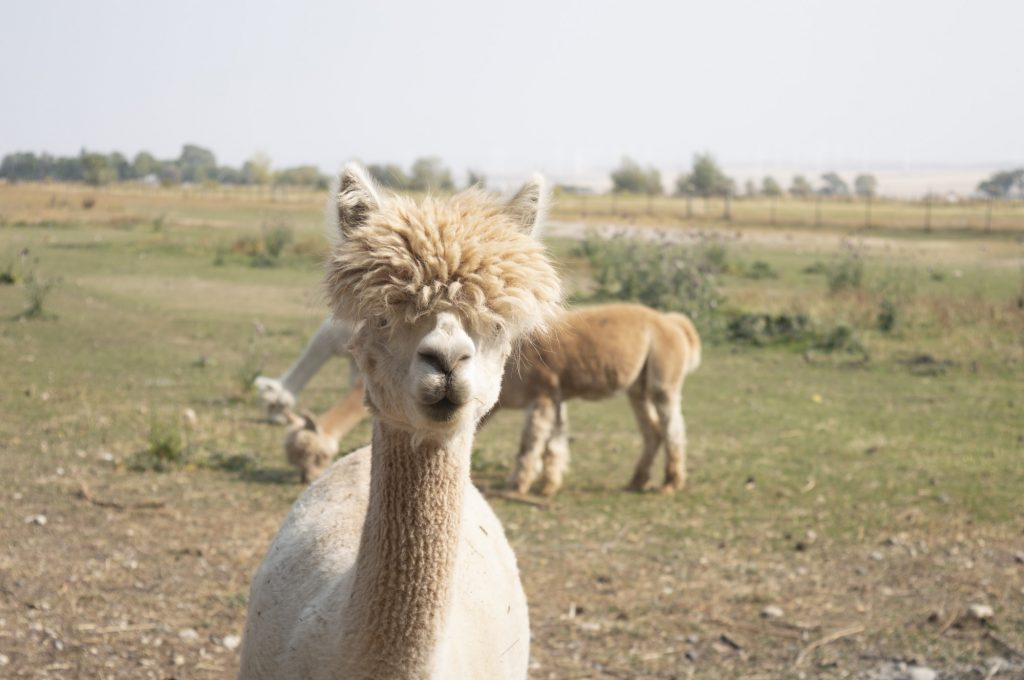 """The top of an alpaca&squot;s head is called a """"top knot"""" according to Freeman."""