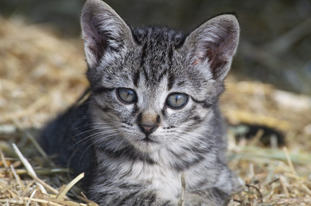 One of Freeman's kittens rest in the hay next to a barn of hay storage.