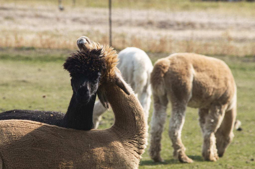 """According to Freeman, if alpacas are annoyed with each other they will spit at each other and use their necks to """"fight."""""""