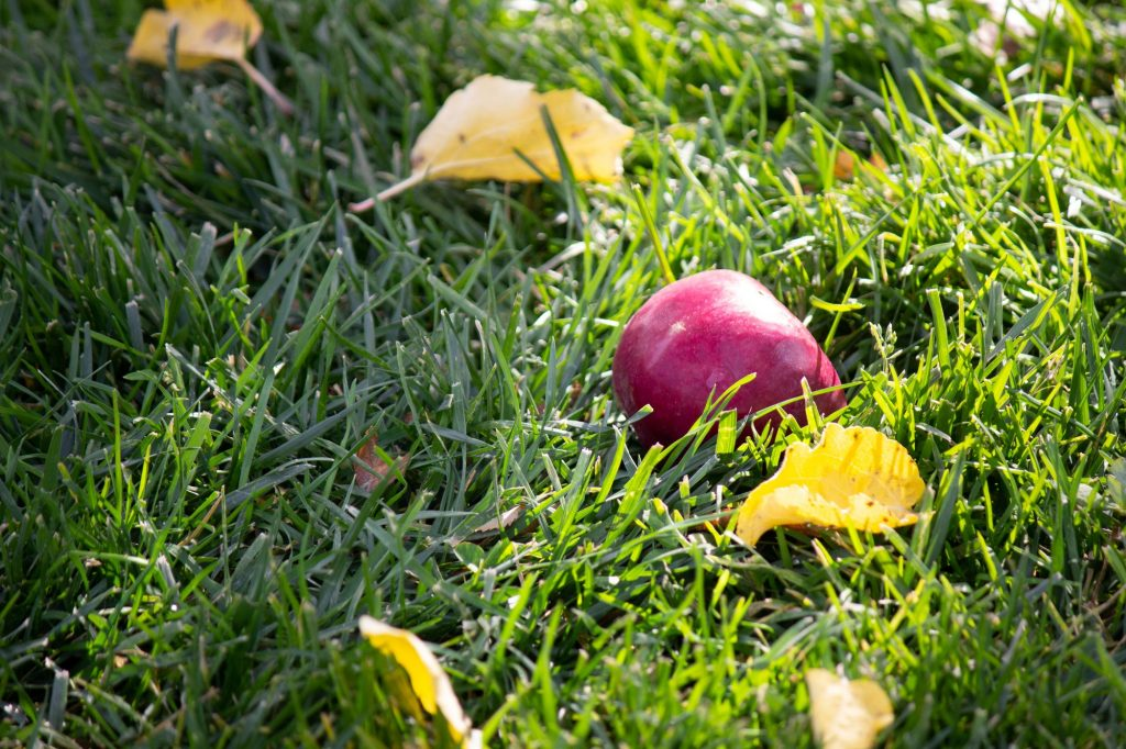 A fallen apple on the ground
