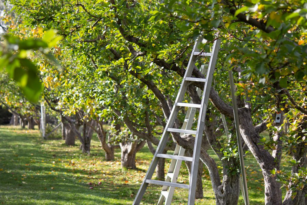 An apple-picking ladder against a tree