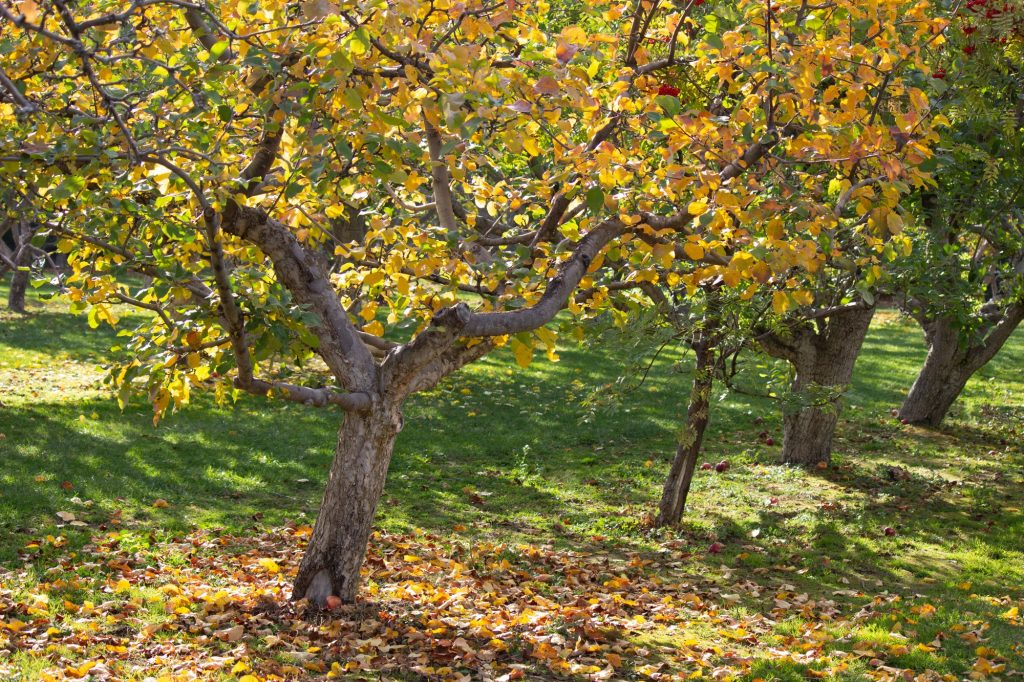 Changing leaves in the orchard.