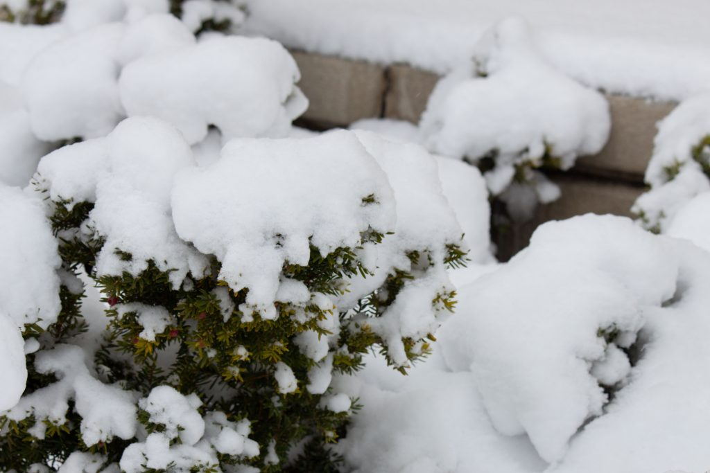 Snow collected on a bush.